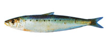 Image of Sardinops sagax (South American pilchard)