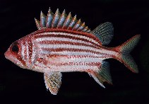 Image of Sargocentron seychellense (Yellow-tipped squirrelfish)