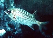 Image of Sargocentron vexillarium (Dusky squirrelfish)
