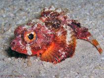 Image of Scorpaena albifimbria (Coral scorpionfish)