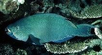 Image of Scarus altipinnis (Filament-finned parrotfish)