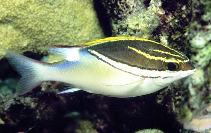 Image of Scolopsis bilineata (Two-lined monocle bream)