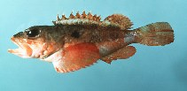 Image of Scorpaena calcarata (Smooth-head scorpionfish)