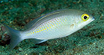 Image of Scolopsis ciliata (Saw-jawed monocle bream)