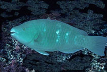 Image of Scarus compressus (Azure parrotfish)
