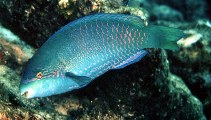 Image of Scarus globiceps (Globehead parrotfish)