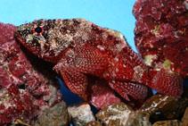 Image of Scorpaenodes insularis