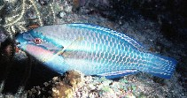 Image of Scarus iseri (Striped parrotfish)