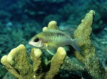 Image of Scolopsis margaritifera (Pearly monocle bream)