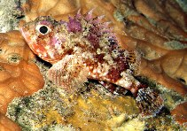 Image of Scorpaena notata (Small red scorpionfish)