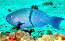 Image of Scarus persicus (Gulf parrotfish)