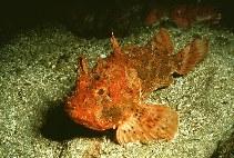 Image of Scorpaena porcus (Black scorpionfish)