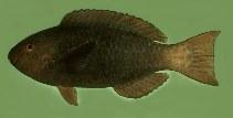 Image of Scarus prasiognathos (Singapore parrotfish)