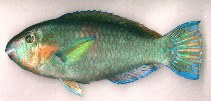 Image of Scarus rivulatus (Rivulated parrotfish)