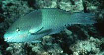 Image of Scarus scaber (Fivesaddle parrotfish)