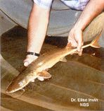 Image of Scaphirhynchus suttkusi (Alabama sturgeon)