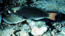 Image of Scarus tricolor (Tricolour parrotfish)
