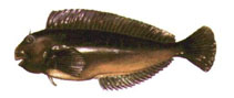 Image of Scartichthys viridis
