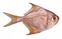 Image of Schuettea woodwardi (Woodwards pomfret)