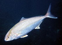 Image of Seriola dumerili (Greater amberjack)