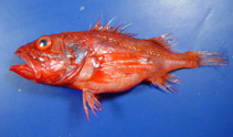 Image of Setarches guentheri (Channeled rockfish)