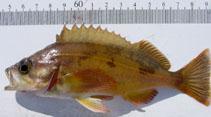 Image of Sebastes hopkinsi (Squarespot rockfish)