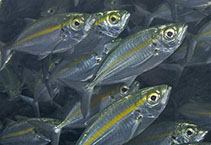 Image of Selaroides leptolepis (Yellowstripe scad)