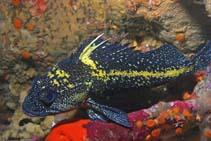 Image of Sebastes nebulosus (China rockfish)