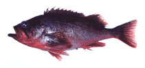 Image of Sebastes polyspinis (Northern rockfish)