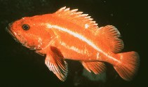 Image of Sebastes ruberrimus (Yelloweye rockfish)