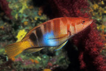 Image of Serranus scriba (Painted comber)