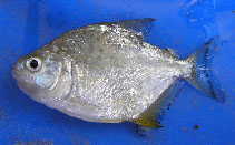 Image of Serrasalmus spilopleura (Speckled piranha)
