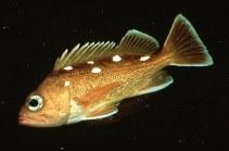 Image of Sebastes umbrosus (Honeycomb rockfish)