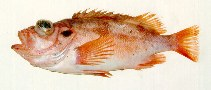 Image of Sebastes viviparus (Norway redfish)