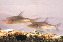 Image of Sinocyclocheilus anophthalmus (Eyeless golden-line fish)