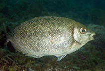 Image of Siganus canaliculatus (White-spotted spinefoot)