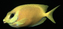 Image of Siganus corallinus (Blue-spotted spinefoot)