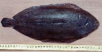 Image of Solea solea (Common sole)