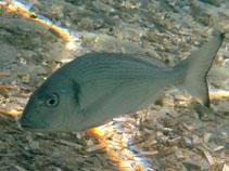 Image of Sparus aurata (Gilthead seabream)