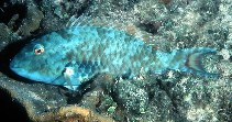 Image of Sparisoma chrysopterum (Redtail parrotfish)