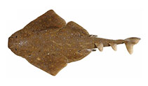 Image of Squatina albipunctata (Eastern Angel Shark)