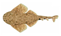 Image of Squatina tergocellata (Ornate angelshark)