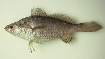 Image of Stellifer brasiliensis