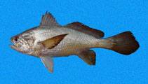 Image of Stellifer oscitans (Yawning stardrum)