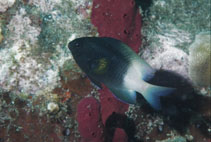 Image of Stegastes partitus (Bicolor damselfish)