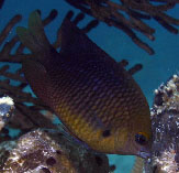 Image of Stegastes planifrons (Threespot damselfish)