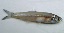 Image of Stolephorus waitei (Spotty-face anchovy)