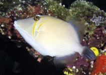Image of Sufflamen bursa (Boomerang triggerfish)