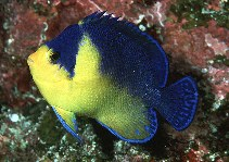 Image of Centropyge venusta (Purplemask angelfish)