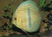Image of Symphysodon aequifasciatus (Blue discus)